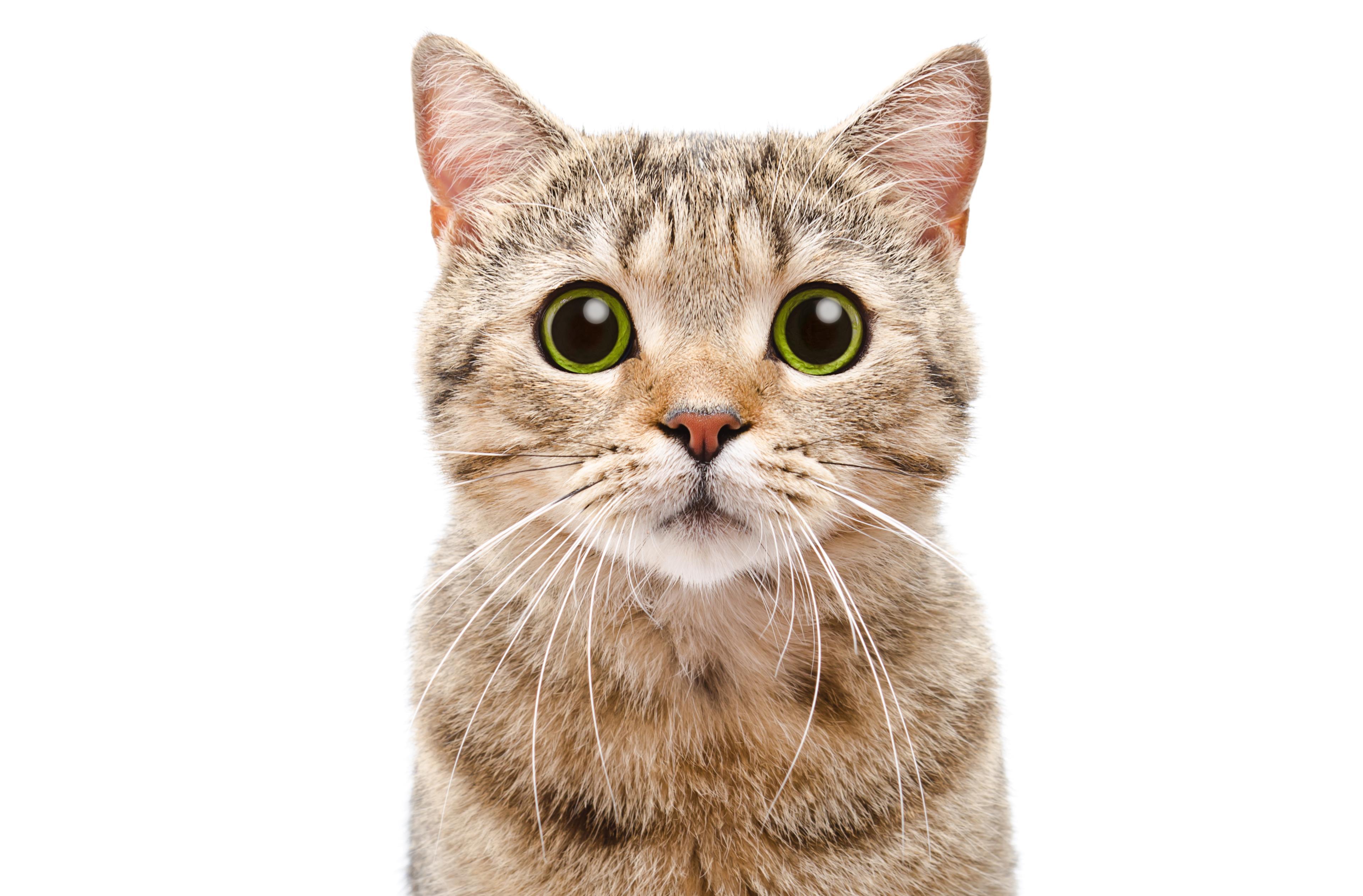 Gatto marrone con occhi verdi