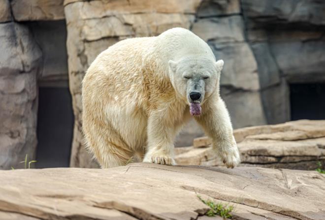 Orso polare in via di estinzione