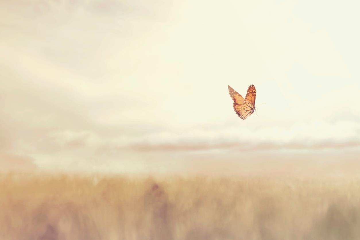 Farfalla vola su un campo di grano