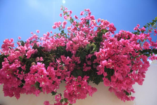 Bouganville pianta rampicante rosa
