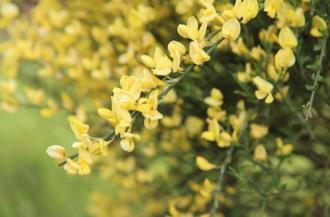 La ginestra è una pianta umile dalla fioritura prorompente, utilizzata a scopo decorativo e non solo
