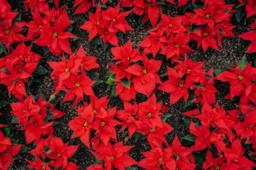 Una stella di Natale rossa