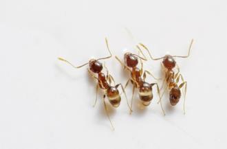 Tre formiche in casa