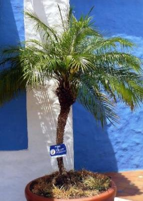 Palma da datteri nana (Phoenix roebelinii)