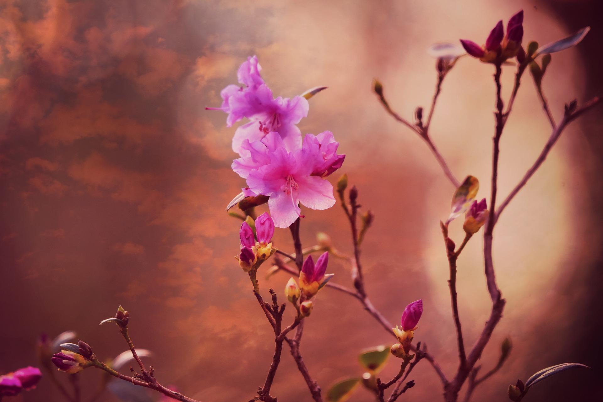 Azalea pianta boccioli