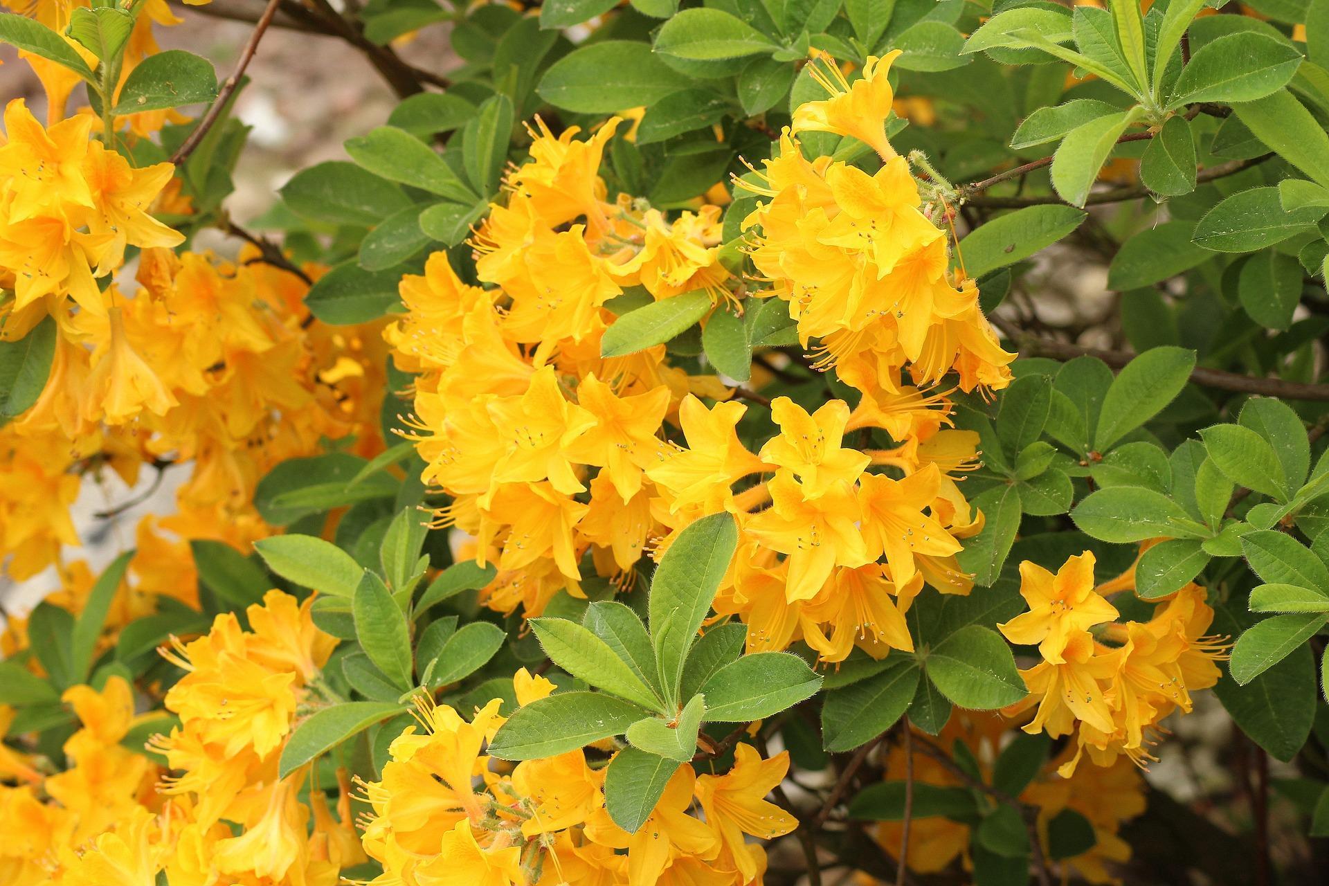 Azalea gialla
