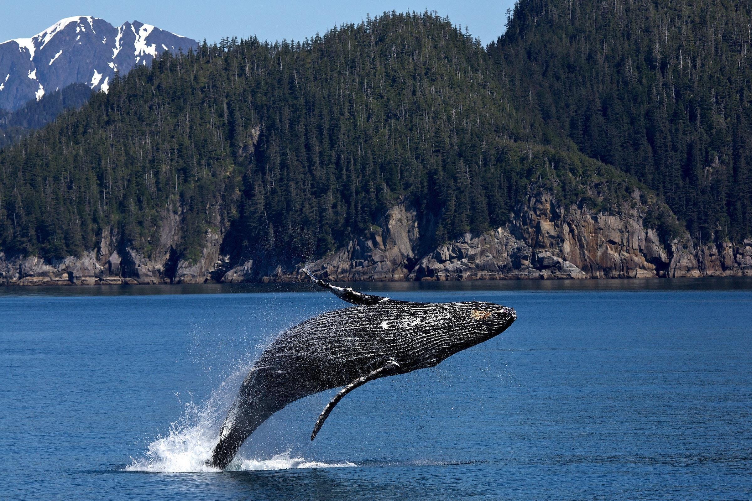 Megattera cetaceo in via di estinzione