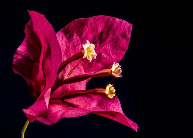 Fiore di Bouganville
