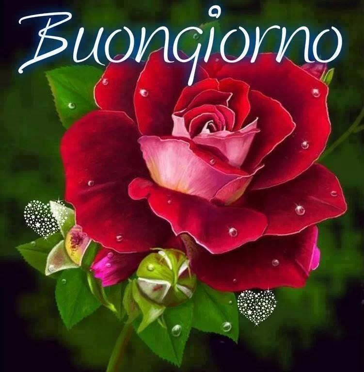 Una rosa rossa con scritta Buongiorno